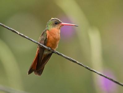 CINNAMON HUMMINGBIRD - Amazilia rutila - Los Tarrales, January 2017, Suchitepéquez, Guatemala