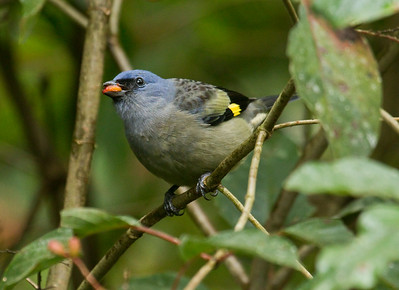 YELLOW-WINGED TANAGER - Thraupis abbas - Tikal, January 2017, Petén, Guatemala