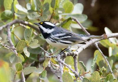BLACK-THROATED GRAY WARBLER - Setophaga nigrescens - Lower Florida Canyon, Santa Rita Mountains, Oct 2017, Arizona, USA