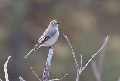 TOWNSEND'S SOLITAIRE - Myadestes townsendi - Picture Canyon, Flagstaff, Oct 2017, Arizona, USA