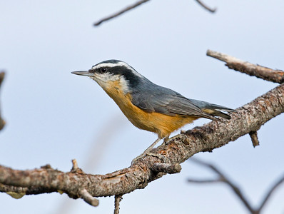 RED-BREASTED NUTHATCH - Sitta canadensis - Grand Canyon National Park, South Rim, Oct 2017, Arizona, USA
