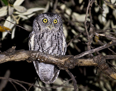 WHISKERED SCREECH-OWL - Megascops trichopsis - Madera Canyon, Santa Rita Mountains, Oct 2017, Arizona, USA