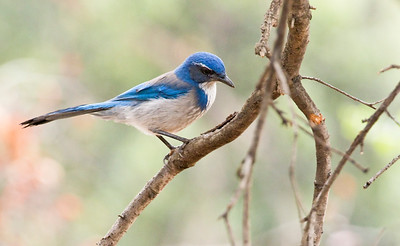 CALIFORNIA SCRUB JAY - Aphelocoma californica - Eaton Canyon , Oct 2017, Pasadena, Los Angeles, California, USA