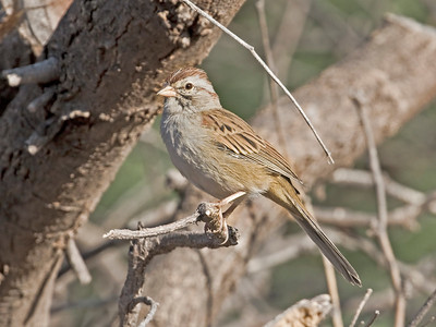RUFOUS-WINGED SPARROW - Peucaea carpalis - De Anza trail, Tubac, Oct 2017, Arizona, USA