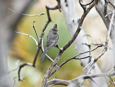 PHAINOPEPLA - Phainopepla nitens - Chilao Visitor Center, Palmdale, Oct 2017, Los Angeles, USA