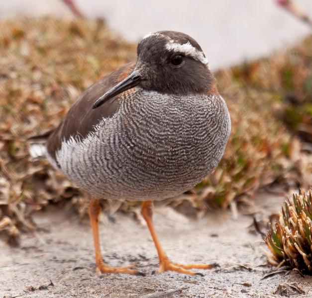 DIADEMED SANDPIPER-PLOVER - Phegornis mitchellii -<br /> Marcapomacocha, 5 Sept 2012, Lima, Peru