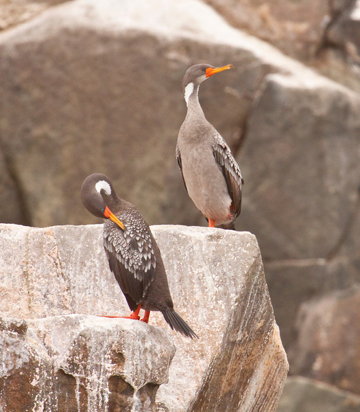 RED-LEGGED CORMORANT - Phalacrocorax gaimardi -<br /> Pelagic off Lima, 7 Sept 2012, Lima, Peru