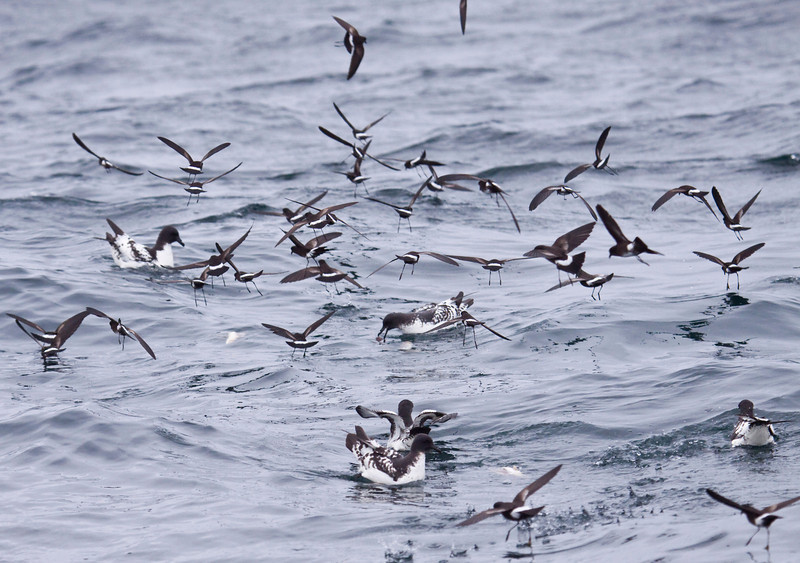 CAPE PETRELS - Daption capense  and ELLIOT'S (WHITE-VENTED) STORM-PETRELS - Oceanites gracilis -<br /> Pelagic off Lima, 7 Sept 2012, Lima, Peru