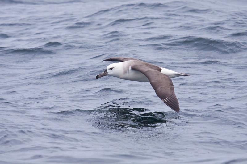 BLACK-BROWED ALBATROSS - Thalassarche melanophrys -<br /> Pelagic off Lima, 7 Sept 2012, Lima, Peru
