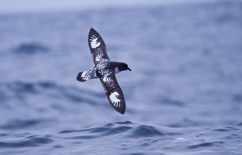 CAPE PETREL - Daption capense -<br /> Pelagic off Lima, 7 Sept 2012, Lima, Peru