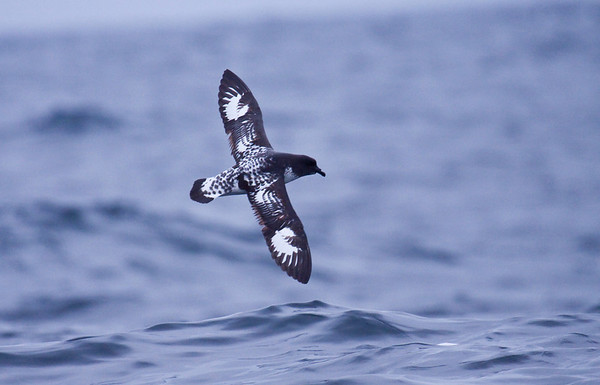 CAPE PETREL - Daption capense - Pelagic off Lima, 7 Sept 2012, Lima, Peru