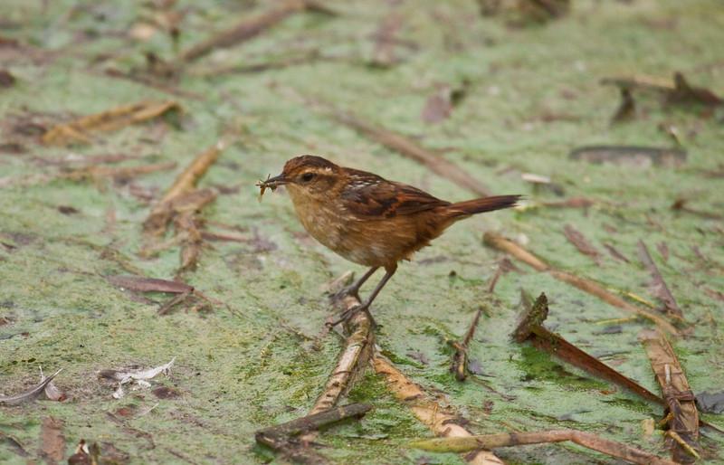 WREN-LIKE RUSHBIRD - Phleocryptes melanops -<br /> Pantanos de Villa, 6 Sept 2012, Lima, Peru