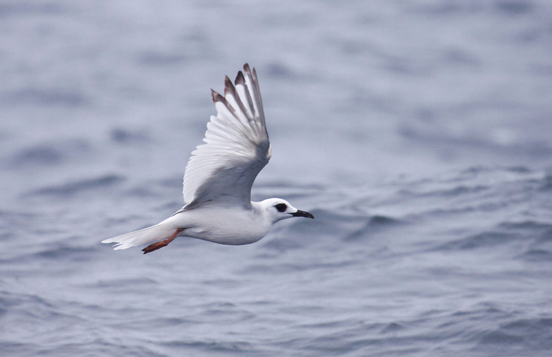 SWALLOW-TAILED GULL - Creagrus furcatus -<br /> Pelagic off Lima, 7 Sept 2012, Lima, Peru