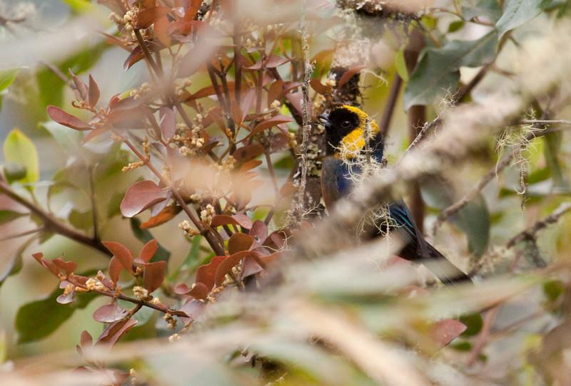 GOLDEN-COLLARED TANAGER - Iridosornis jelskii -<br /> Manu Road, 9 Sept 2012, Cuzco, Peru