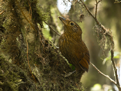 UNIFORM TREEHUNTER - Thripadectes ignobilis - Buenaventura, March 2016, El Oro, Ecuador