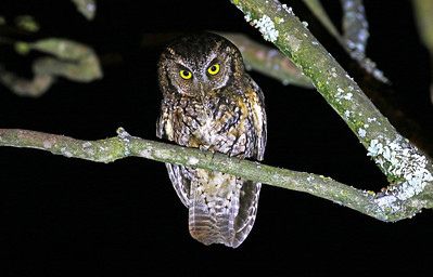 KOEPCKE'S SCREECH-OWL - Megascops koepckeae - Loja, June 2018, Ecuador
