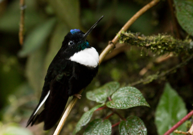 COLLARED INCA - Coeligena torquata -<br /> Tapichalaca, March 2016, Zamora-Chinchipe, Ecuador
