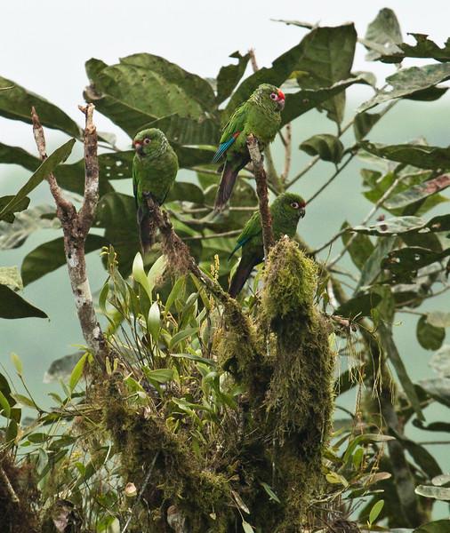 EL ORO PARAKEET - Pyrrhura orcesi -<br /> Buenaventura, March 2016, El Oro, Ecuador