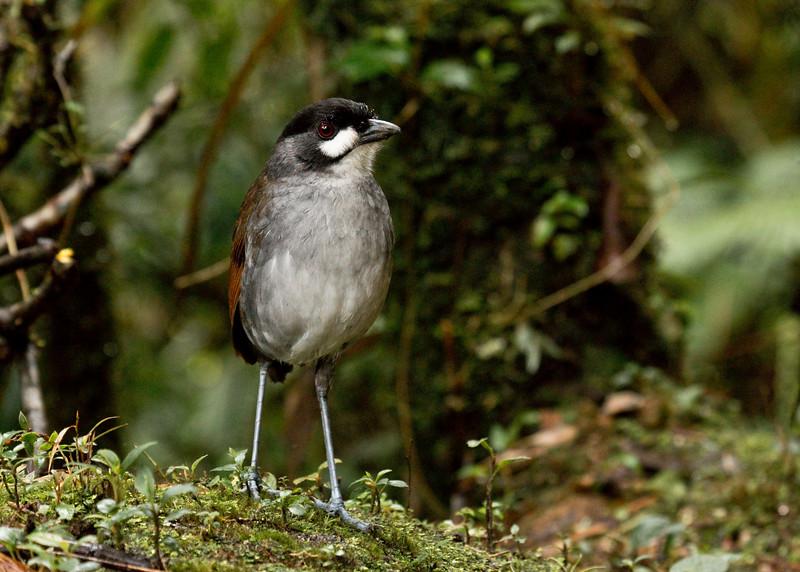 JOCOTOCO ANTPITTA -  Grallaria ridgelyi -<br /> Tapichalaca, March 2016, Zamora-Chinchipe, Ecuador