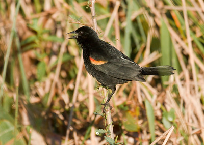RED-SHOULDERED BLACKBIRD - Agelaius assimilis - Zapata Peninsula, February 2016, Matanzas, Cuba