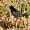 RED-SHOULDERED BLACKBIRD - Agelaius assimilis -<br /> Zapata Peninsula, February 2016, Matanzas, Cuba