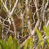 ZAPATA WREN - Ferminia cerverai -<br /> Santo Tomas, February 2017, Zapata Peninsula, Matanzas, Cuba