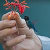 BEE HUMMINGBIRD - Mellisuga helenae -<br /> Palpite, Zapata Peninsula, February 2016, Matanzas, Cuba