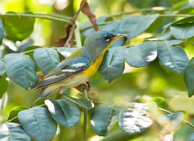 NORTHERN PARULA - Setophaga americana - Las Terrazas, February 2017, Artemisa, Cuba
