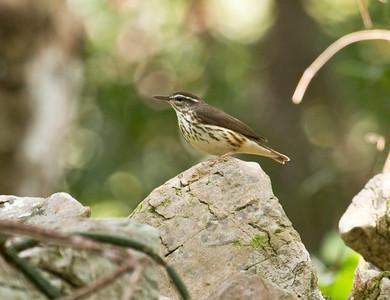 LOUISIANA WATERTHRUSH - Parkesia motacilla  - Las Terrazas, February 2017, Artemisa, Cuba