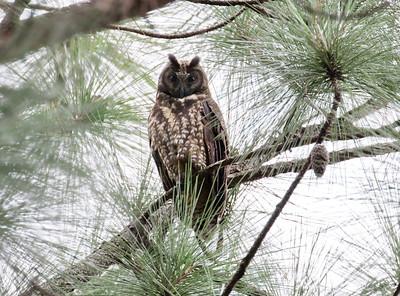 STYGIAN OWL - Asio stygius - Las Terrazas, February 2018, Artemisa, Cuba