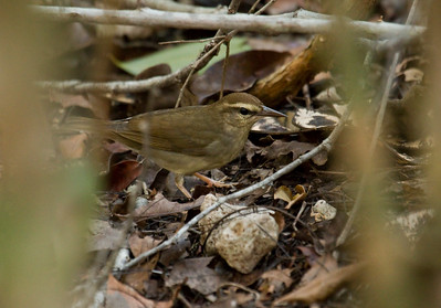 SWAINSON'S WARBLER - Limnothlypis swainsonii -  Soplillar, Zapata Peninsula, February 2017, Matanzas, Cuba