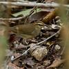 SWAINSON'S WARBLER - Limnothlypis swainsonii - <br /> Soplillar, Zapata Peninsula, February 2017, Matanzas, Cuba