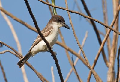 GIANT KINGBIRD - Tyrannus cubensis - Najasa, February 2017, Camagüey, Cuba