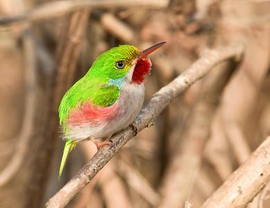 CUBAN TODY - Todus multicolor - Najasa, February 2017, Camagüey, Cuba