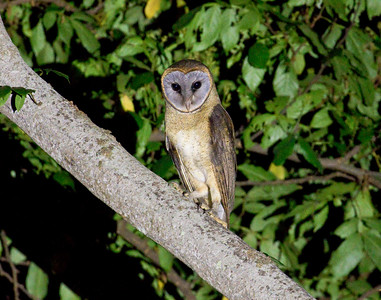ASHY-FACED OWL - Tyto glaucops - Cachote, January 2018, Sierra de Bahoruco, Dominican Republic