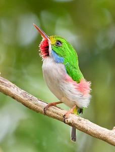 CUBAN TODY - Todus multicolor - Las Terrazas, February 2018, Artemisa, Cuba