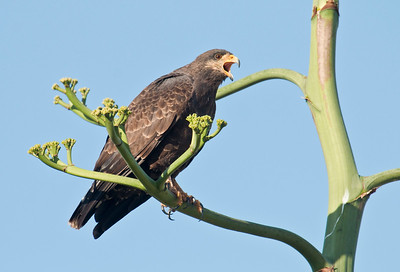 CUBAN BLACK HAWK - Buteogallus gundlachii - Cayo Paredón Grande, February 2017, Ciego de Ávila, Cuba