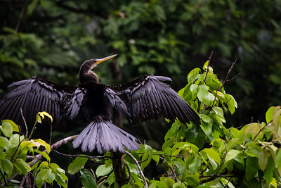 LJR Images - Snake Bird Anhinga in Tortuguero Costa Rica-304