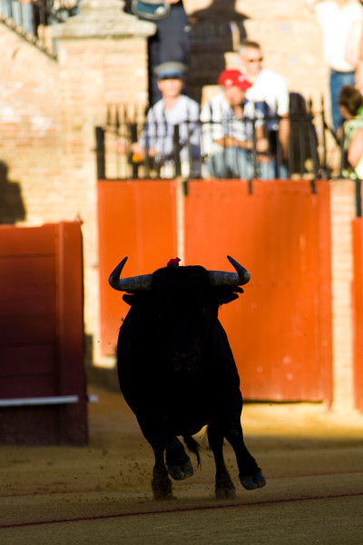 Fighting bull coming out onto the arena, Real Maestranza bullring, Seville, autonomous community of Andalusia, southern Spain