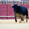 Charging bull, Real Maestranza bullring, Seville, autonomous community of Andalusia, southern Spain
