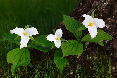 Trillium & Tree (Door County - Wisconsin)
