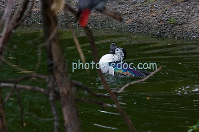 Bluewing Teal duck