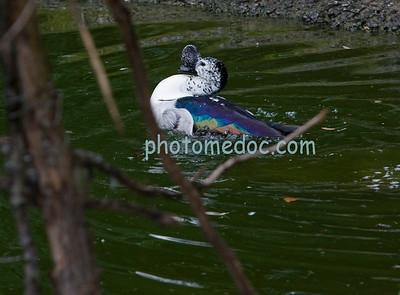 Beautiful Humped Beak Duck
