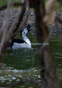 Black and White Humped Beak Duck