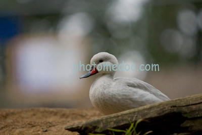 Small White Duck