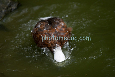 Duck Fishing For Food