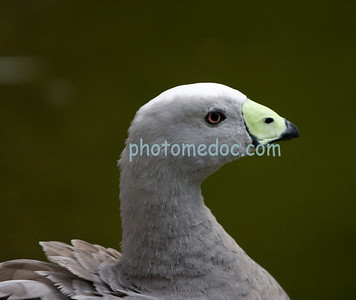 Special White Yellow-Billed Duck