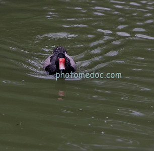 Red-Billed Duck