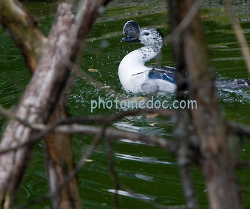 Greenwing Teal Duck