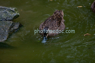 Common Brown Duck